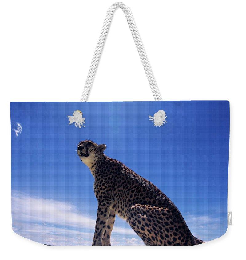 Kenya Weekender Tote Bag featuring the photograph Cheetah Acinonyx Jubatus, Against Blue by Anup Shah