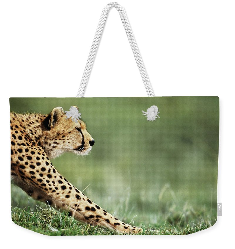 Grass Weekender Tote Bag featuring the photograph Cheetah Acinonyx Jubatus Stretching by Anup Shah