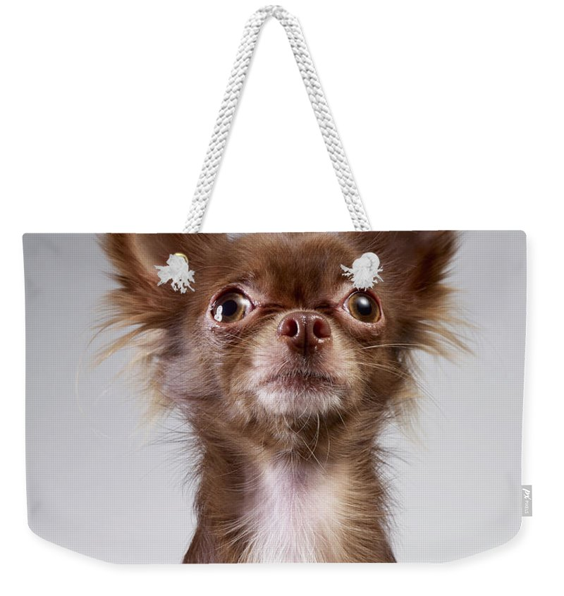 Pets Weekender Tote Bag featuring the photograph Chihuahua Looking Up by Stilllifephotographer