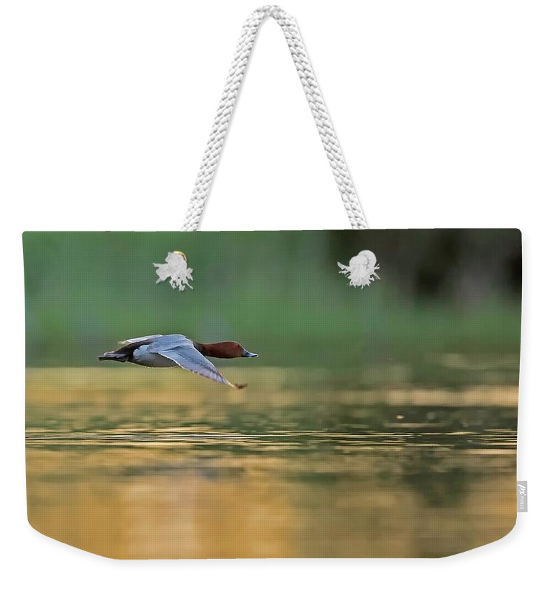 Aythya Ferina Weekender Tote Bag featuring the photograph Common Pochard In Flight by Jean-Luc Baron