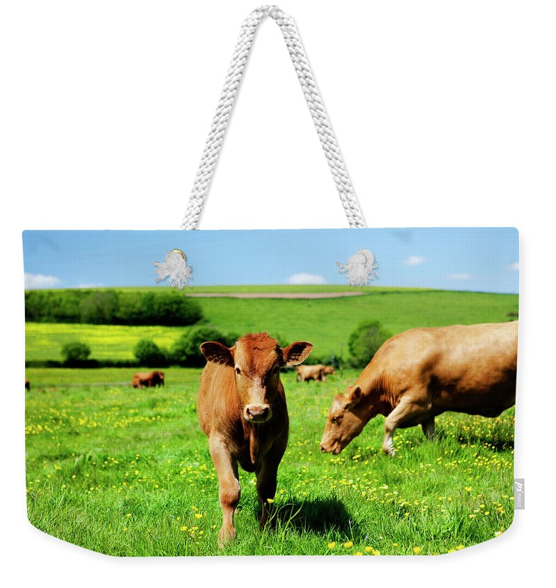 Domestic Animals Weekender Tote Bag featuring the photograph Cows And Buttercups by Lockiecurrie