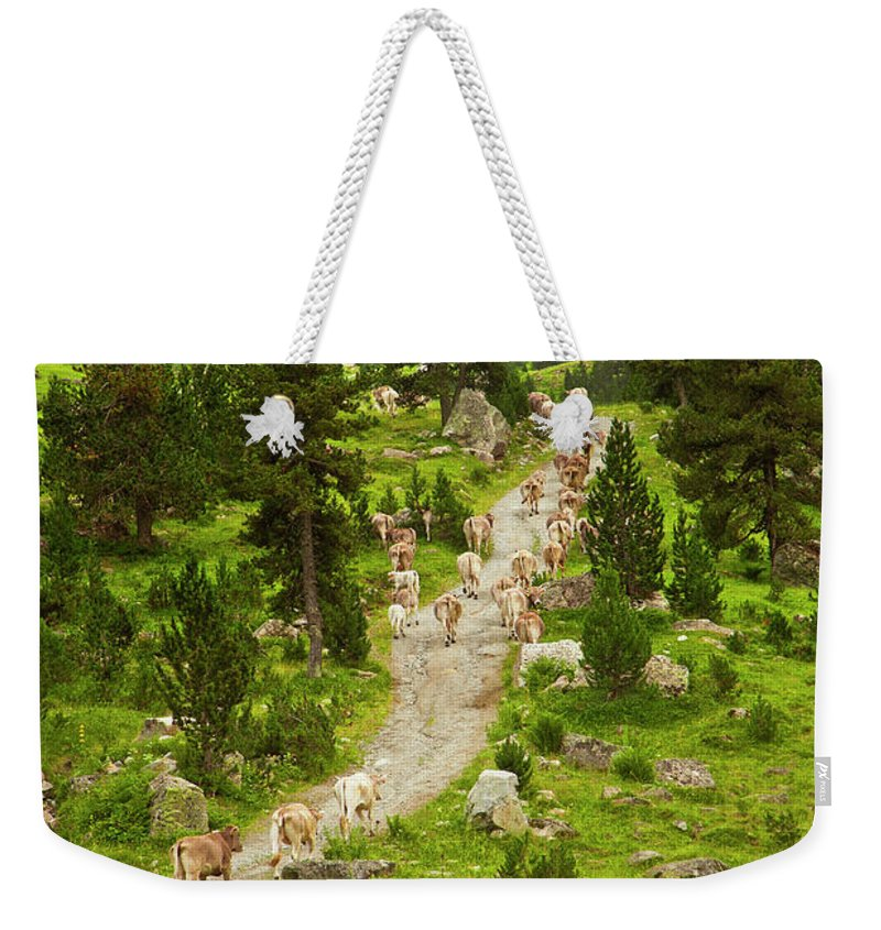 Catalonia Weekender Tote Bag featuring the photograph Cows Walking In Catalan Pyrenees by Gonzalo Azumendi