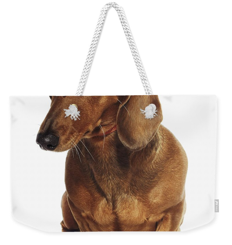 Pets Weekender Tote Bag featuring the photograph Dachshund Looking Up by Gandee Vasan