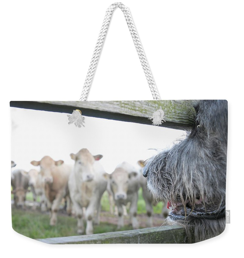 Alertness Weekender Tote Bag featuring the photograph Dog Watching Cows Through Fence by Cecilia Cartner