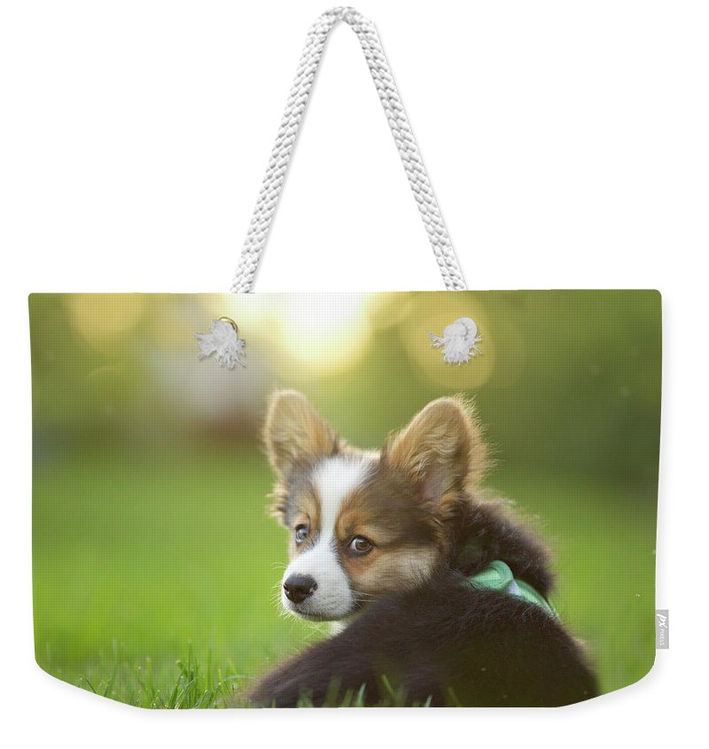 Pets Weekender Tote Bag featuring the photograph Fluffy Corgi Puppy Looks Back by Holly Hildreth