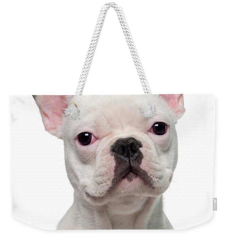 Pets Weekender Tote Bag featuring the photograph French Bulldog Puppy 5 Months Old by Life On White