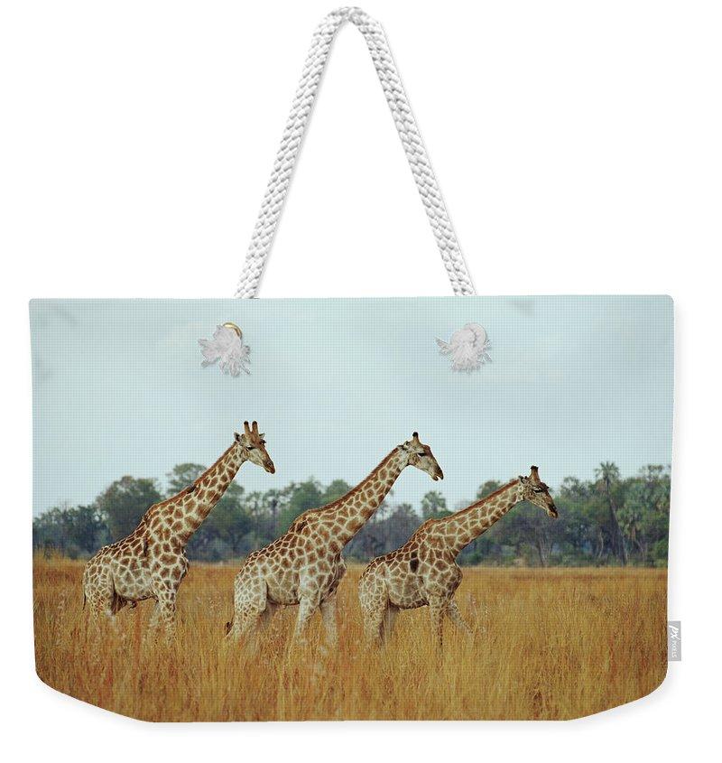 Horned Weekender Tote Bag featuring the photograph Giraffe Herd, Botswana by Tim Graham