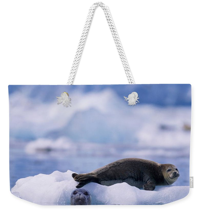 Animal Themes Weekender Tote Bag featuring the photograph Harbor Seal Phoca Vitulina In Glacial by Paul Souders
