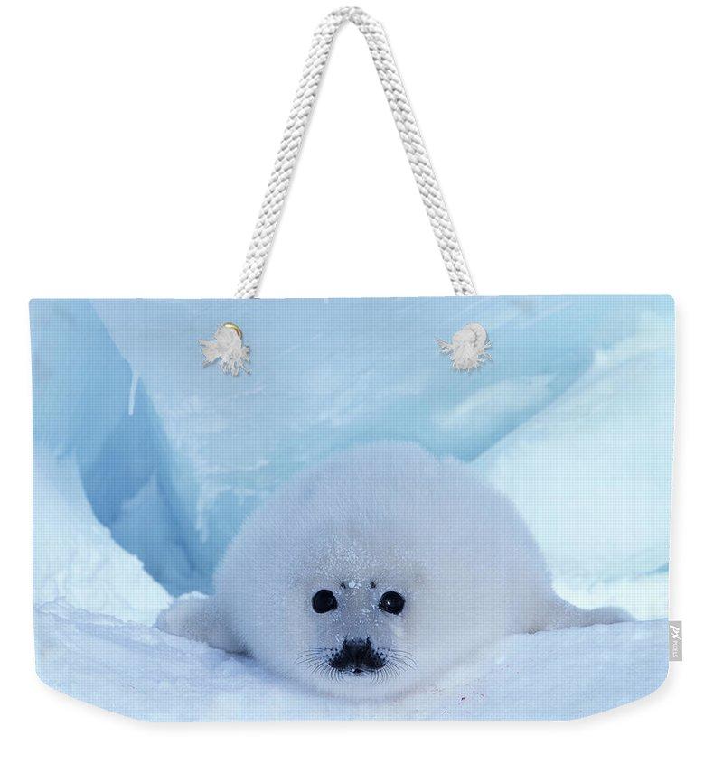 Iles De La Madeleine Weekender Tote Bag featuring the photograph Harp Seal Phoca Groenlandica by Art Wolfe