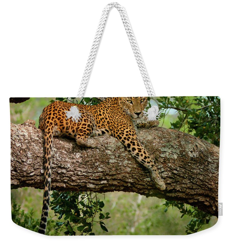 Animal Themes Weekender Tote Bag featuring the photograph Leopard Sitting On A Branch by Thilanka Perera