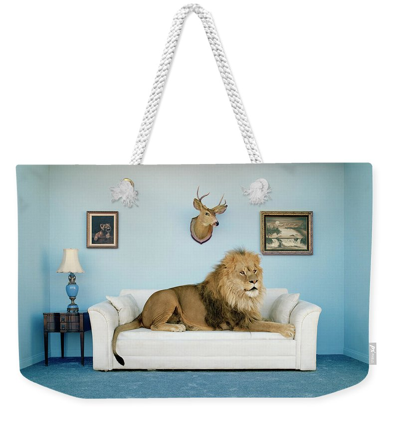Pets Weekender Tote Bag featuring the photograph Lion Lying On Couch, Side View by Matthias Clamer