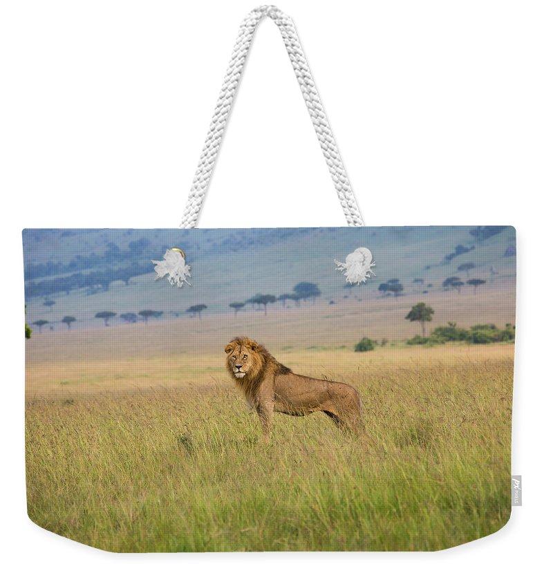 Kenya Weekender Tote Bag featuring the photograph Male Lion In The Savanna Masai Mara by Seppfriedhuber