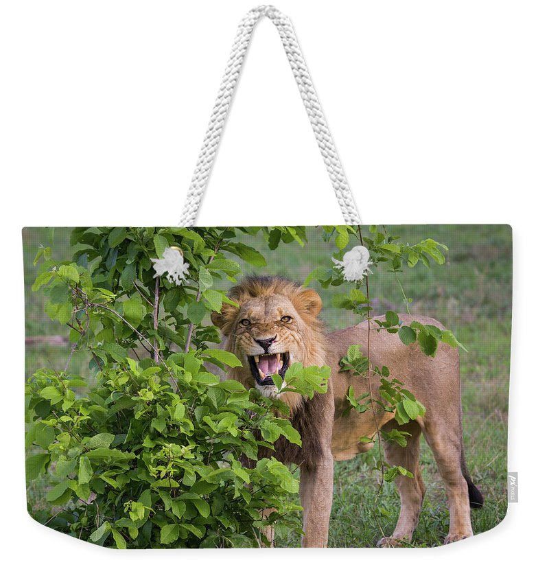 Toughness Weekender Tote Bag featuring the photograph Male Lion With Teeth Bared, Botswana by Karen Desjardin