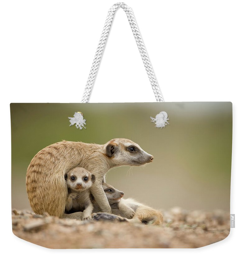 Care Weekender Tote Bag featuring the photograph Meerkat Pups With Adult, Namibia by Paul Souders