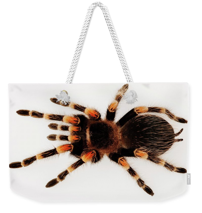White Background Weekender Tote Bag featuring the photograph Mexican Redknee Tarantula Brachypelma by Martin Harvey