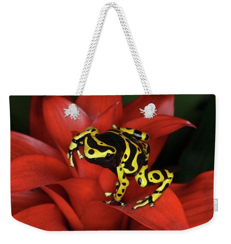 Animal Themes Weekender Tote Bag featuring the photograph Orange Banded Dart Frog Dendrobates by Adam Jones