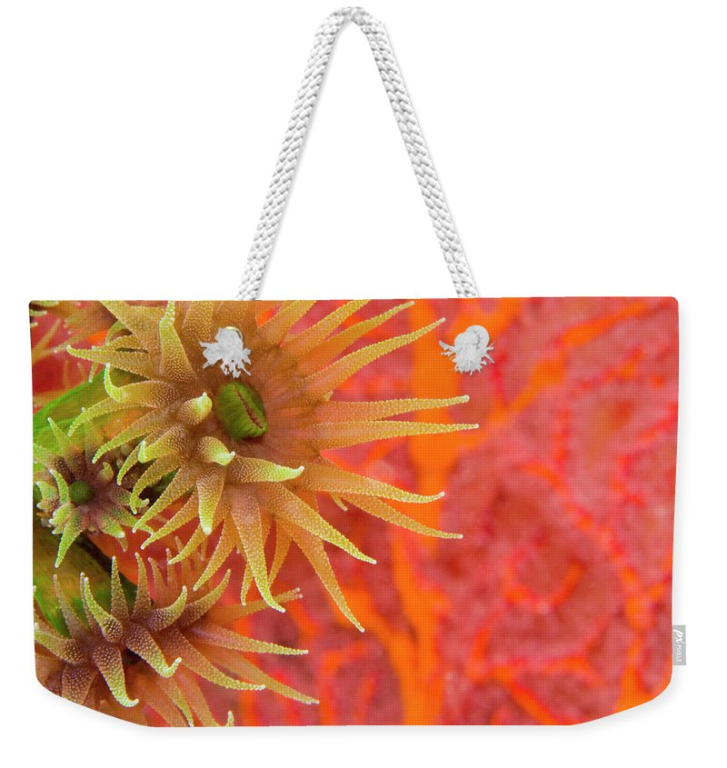 Underwater Weekender Tote Bag featuring the photograph Orange Cup Coral Tubastraea Sp by Rene Frederick