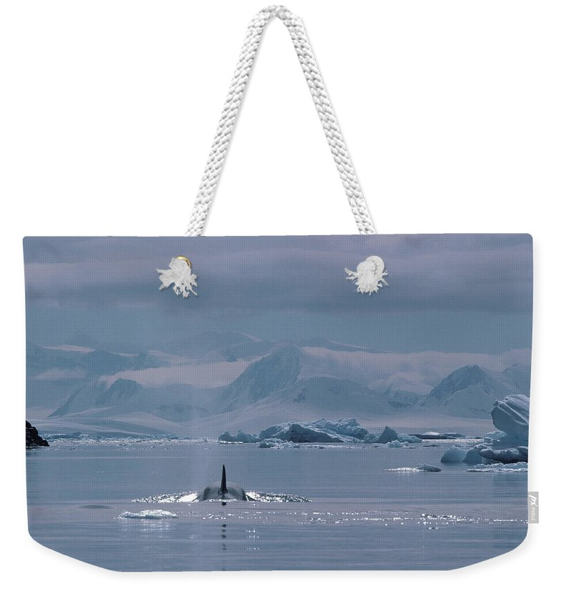 Iceberg Weekender Tote Bag featuring the photograph Orca Orcinus Orca, Antarctica by Art Wolfe
