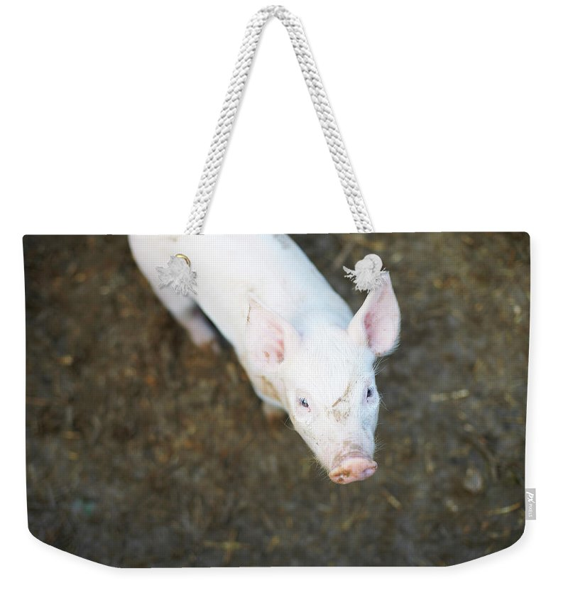 Pig Weekender Tote Bag featuring the photograph Pig Standing In Dirt Field by Peter Muller
