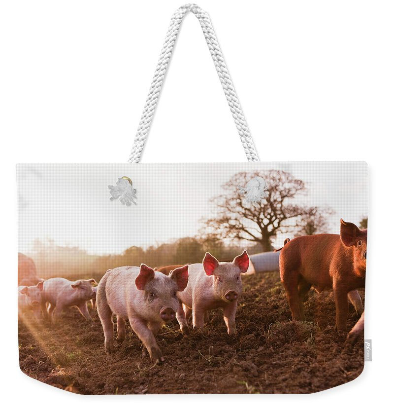 Pig Weekender Tote Bag featuring the photograph Piglets In Barnyard by Jupiterimages