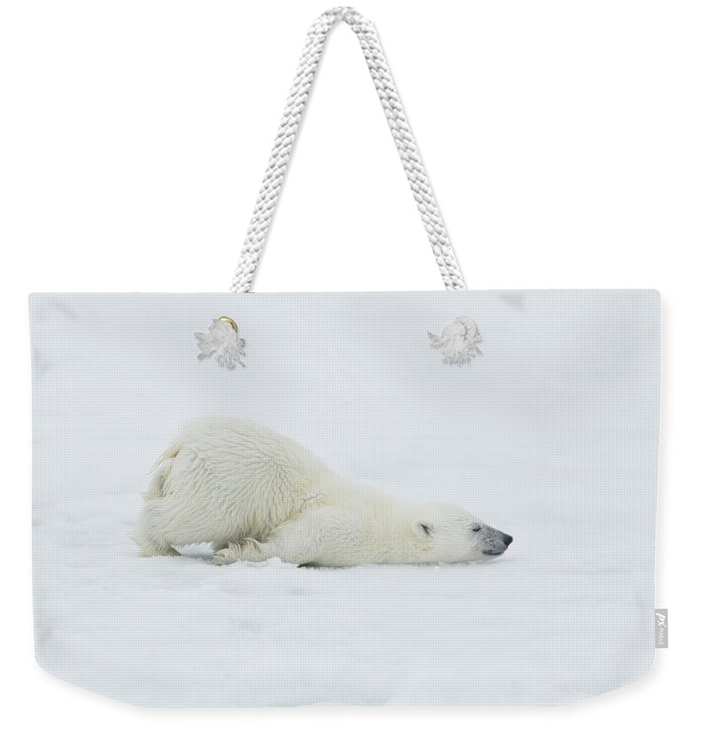 Svalbard Islands Weekender Tote Bag featuring the photograph Polar Bear Cub Stretching Out On Ice by Darrell Gulin