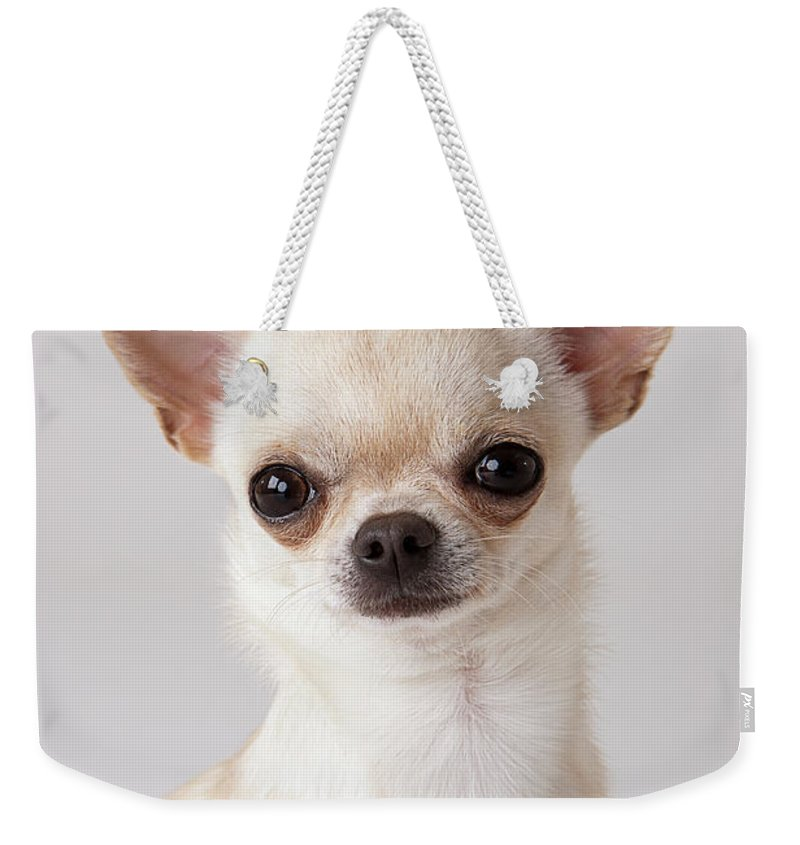 Pets Weekender Tote Bag featuring the photograph Portrait Of Chihuahua by Compassionate Eye Foundation/david Leahy