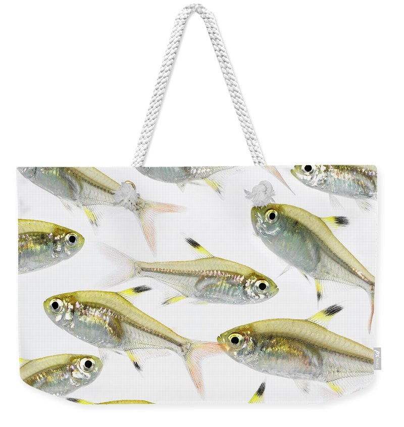 White Background Weekender Tote Bag featuring the photograph School Of X-ray Tetra Fish Pristella by Don Farrall