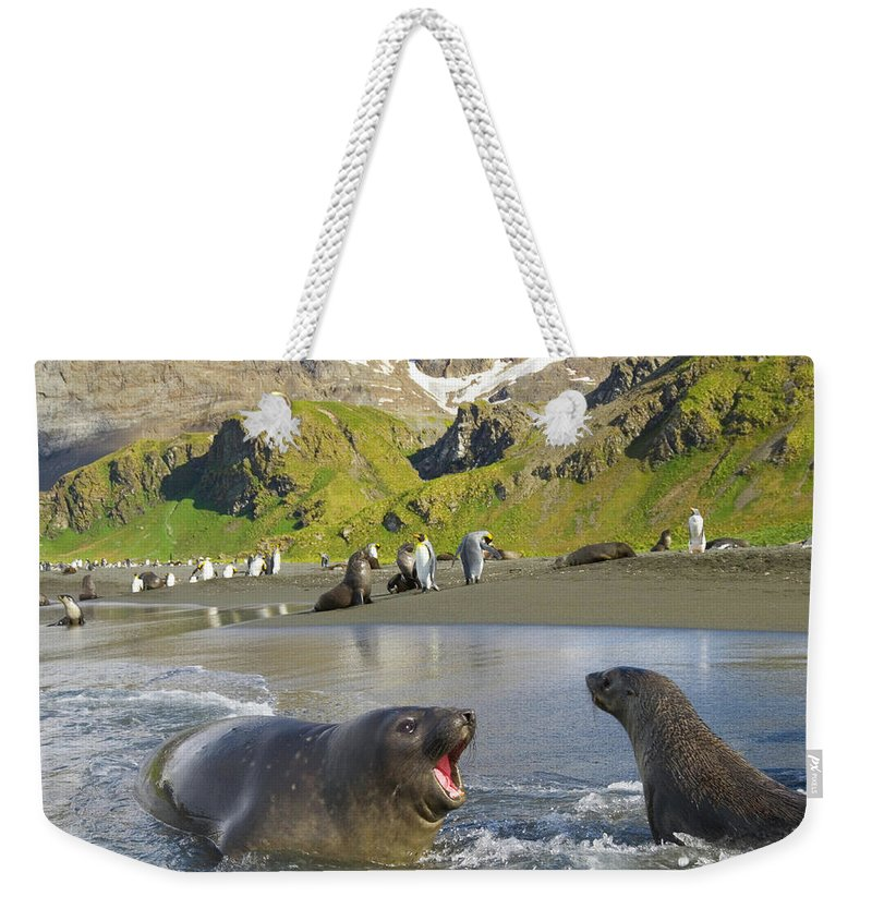South Georgia Island Weekender Tote Bag featuring the photograph Southern Elephant Seal Pup Barking At by Eastcott Momatiuk