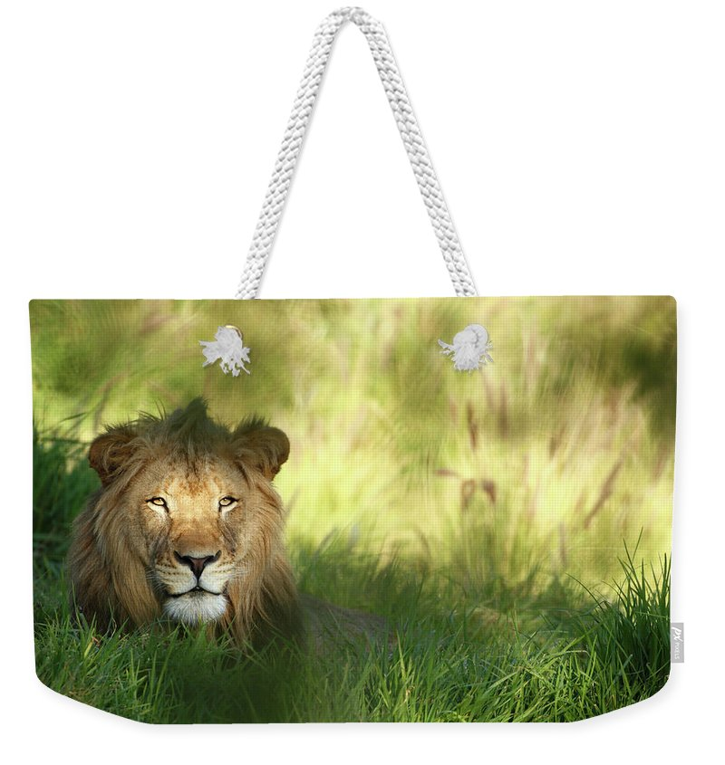 Tropical Rainforest Weekender Tote Bag featuring the photograph Staring Lion In Field Of Grass With by Jimkruger