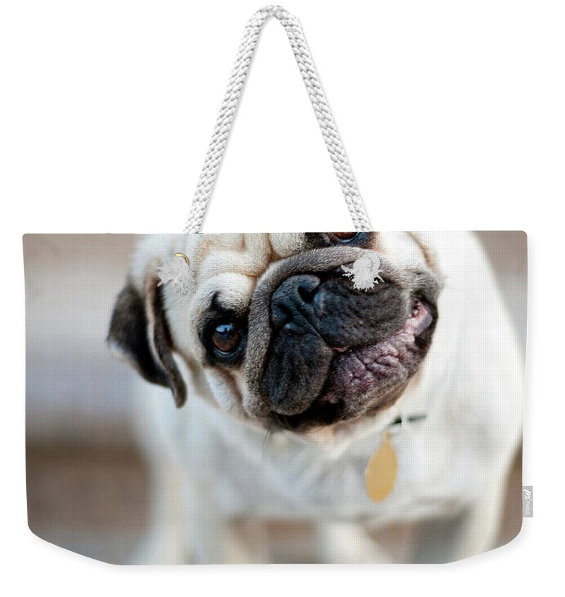 Pets Weekender Tote Bag featuring the photograph Tan & Black Pug Dog Tilting Head by Alex Sotelo