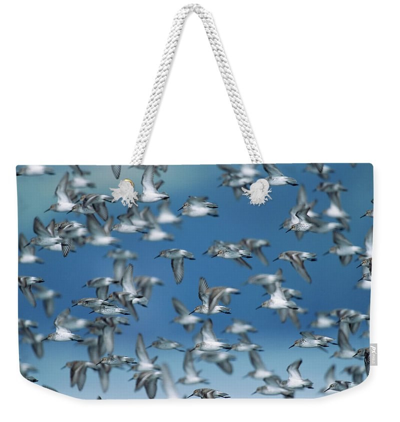 Animal Themes Weekender Tote Bag featuring the photograph Western Sandpipers Calidris Mauri by Eastcott Momatiuk