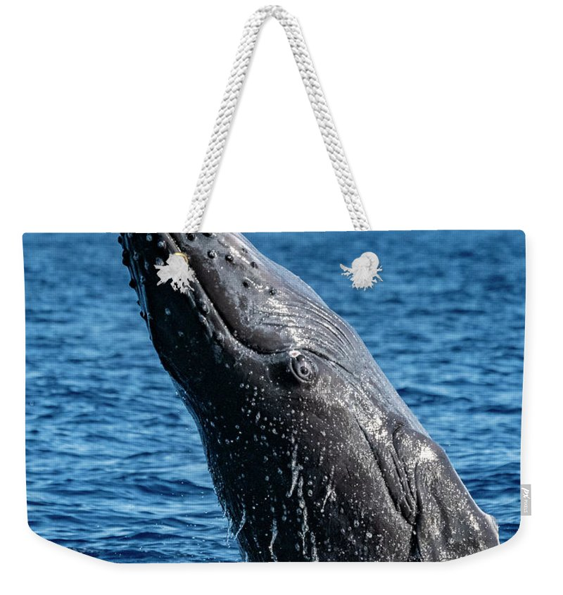 00595515 Weekender Tote Bag featuring the photograph Juvenlie Humpback Breaching by Flip Nicklin