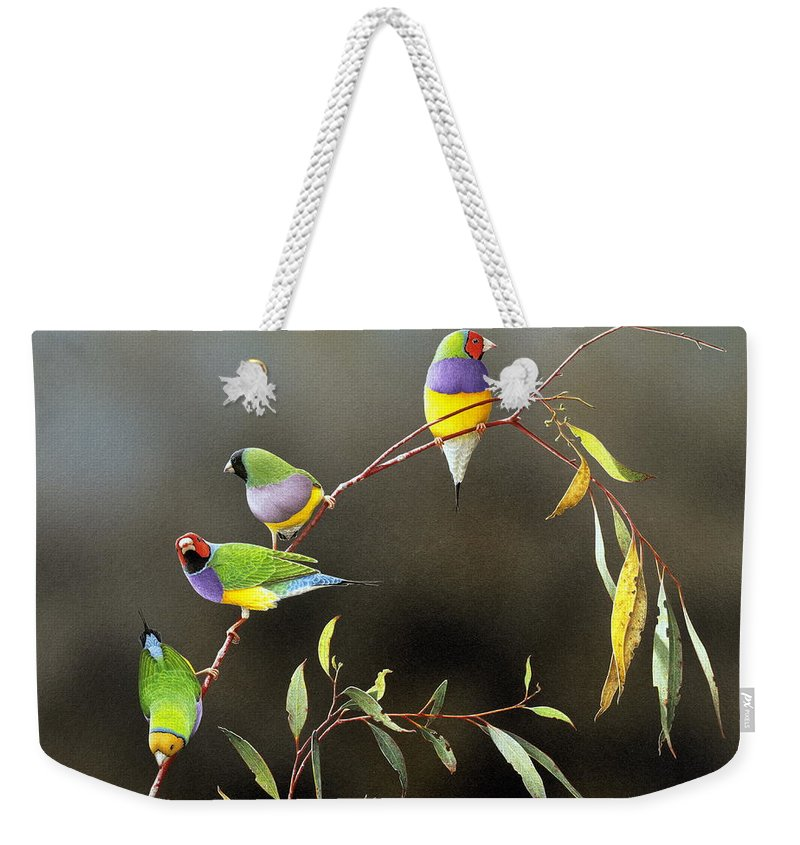 Bird Weekender Tote Bag featuring the painting Three Guys for Every Girl - Gouldian Finches by Frances McMahon