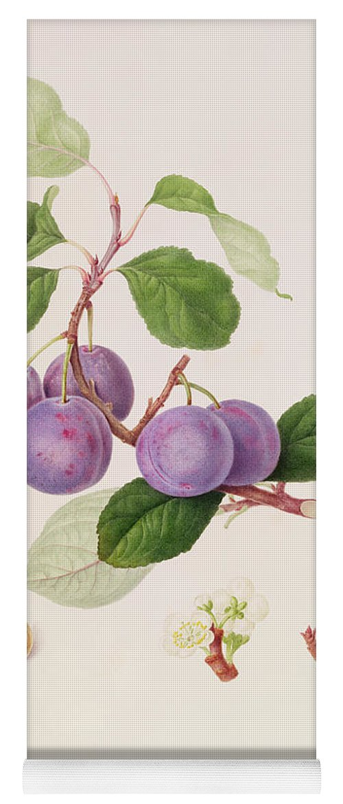 Fruit; Plums; Blossom; Branch; Leaves; Cross-section; Botanical Illustration Yoga Mat featuring the painting La Royale Plum by William Hooker