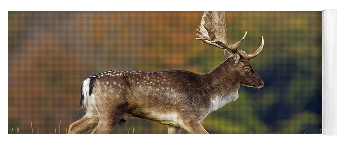 Fallow Deer Yoga Mat featuring the photograph 130201p289 by Arterra Picture Library