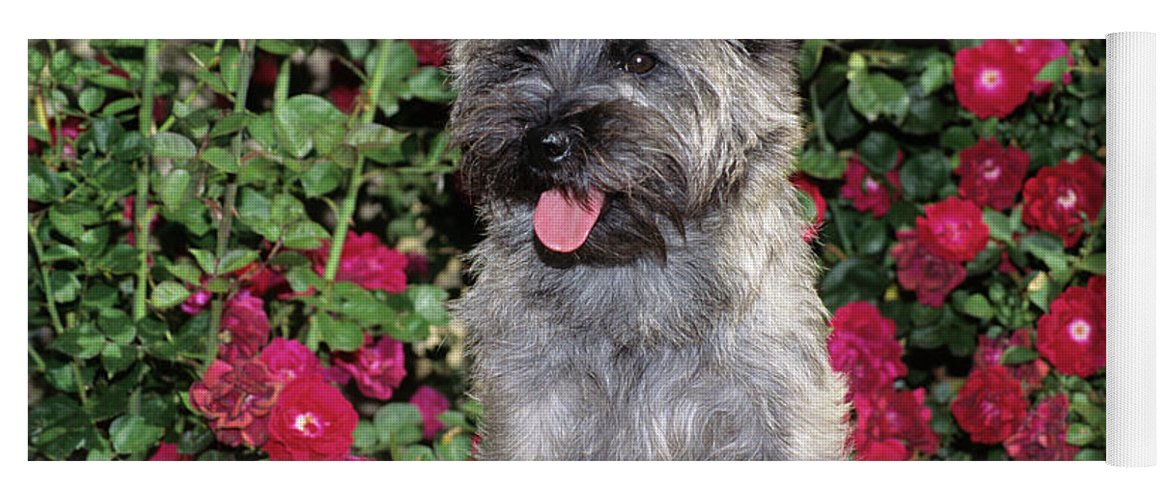 Photography Yoga Mat featuring the photograph 1990s Cairn Terrier Dog Standing by Animal Images