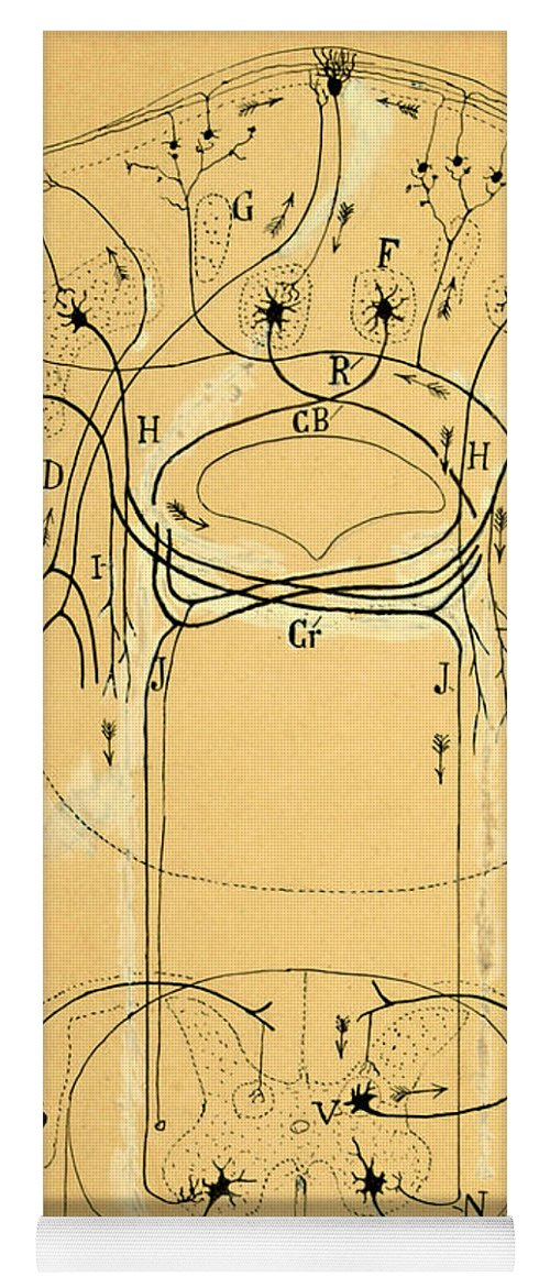 Vestibular Connections Yoga Mat featuring the photograph Brain Vestibular Sensor Connections By Cajal 1899 by Science Source