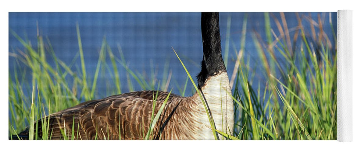 Photography Yoga Mat featuring the photograph Canada Goose Branta Canadensis In Tall by Animal Images