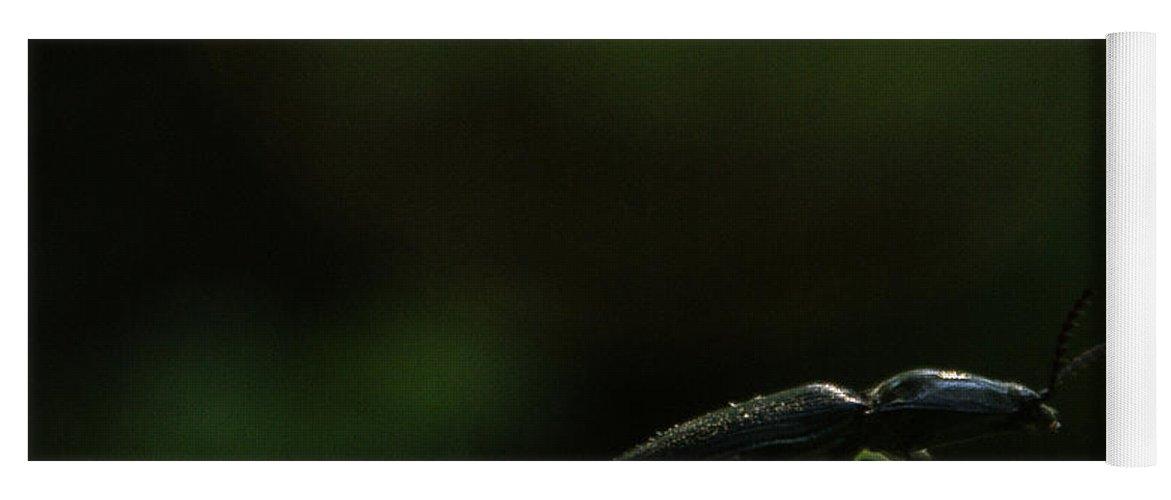 Elateridae Yoga Mat featuring the photograph Elateridae Beetle At Sunrise 1 by Douglas Barnett