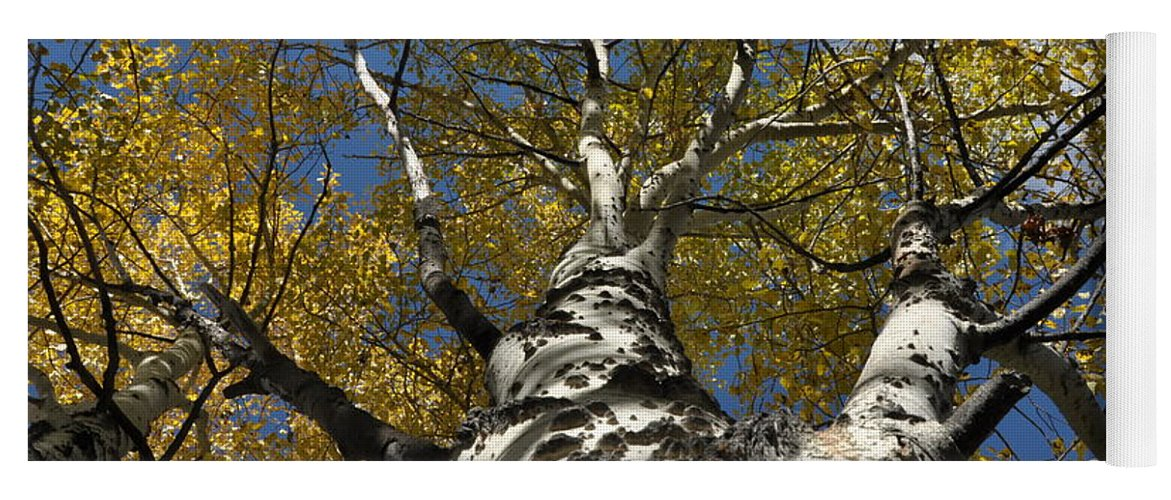 Gold Yoga Mat featuring the photograph Fall Aspen by Frank Madia