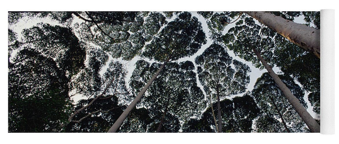 Feb0514 Yoga Mat featuring the photograph Kapur Trees Showing Crown Shyness by Mark Moffett