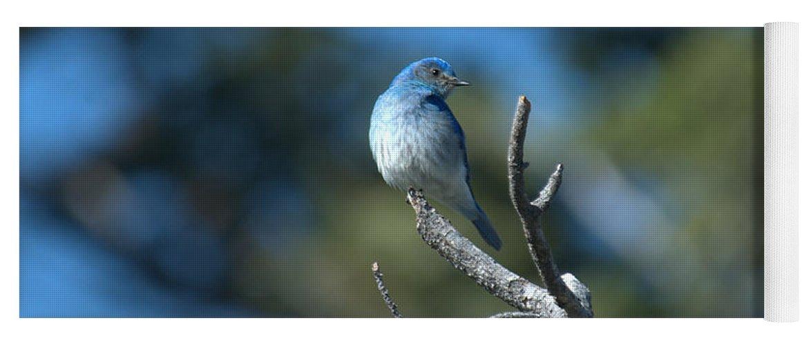 Bluebird Yoga Mat featuring the photograph Mountain Bluebird by Frank Madia