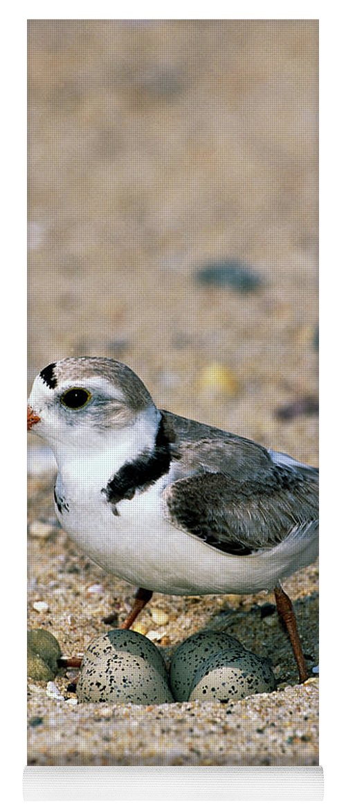 00220028 Yoga Mat featuring the photograph Piping Plover Sitting on Eggs by Tom Vezo