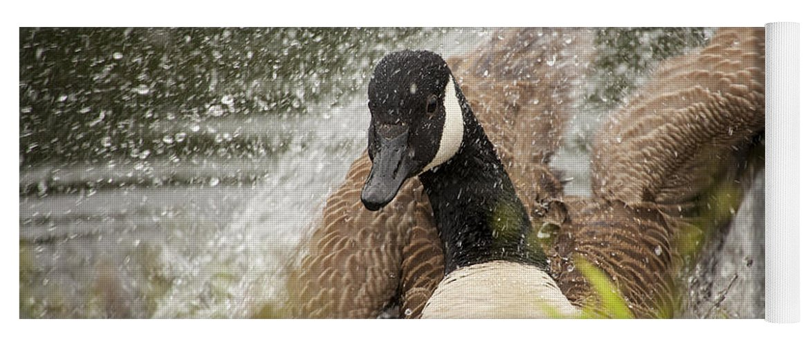 Canada Goose Yoga Mat featuring the photograph Splishing And Splashing by Karol Livote