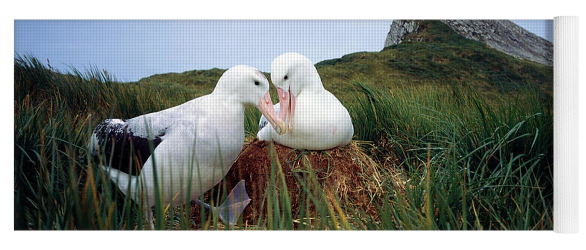 Photography Yoga Mat featuring the photograph Wandering Albatross Diomedea Exulans by Animal Images