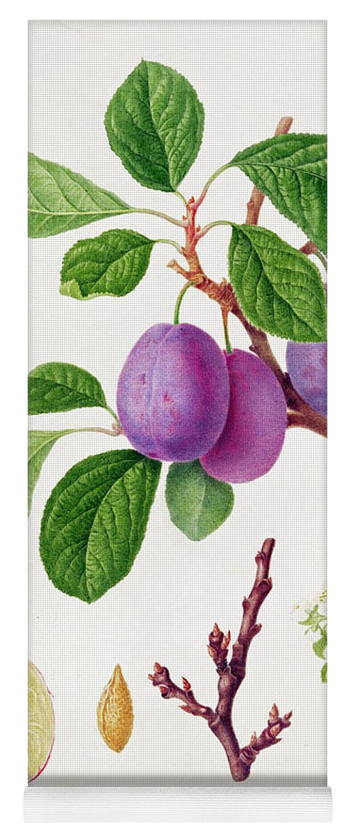 Plums; Plum Blossom; Fruit; Branch; Cross-section; Leaves; Botanical Illustration Yoga Mat featuring the painting Wilmot's Early Violet Plum by William Hooker