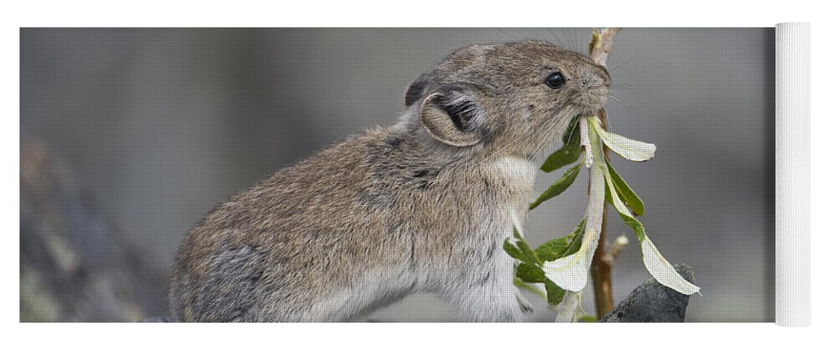 Mp Yoga Mat featuring the photograph American Pika by Michael Quinton
