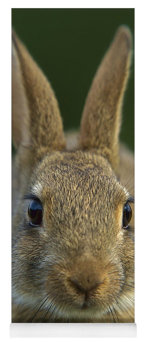 Mp Yoga Mat featuring the photograph European Rabbit Oryctolagus Cuniculus by Cyril Ruoso