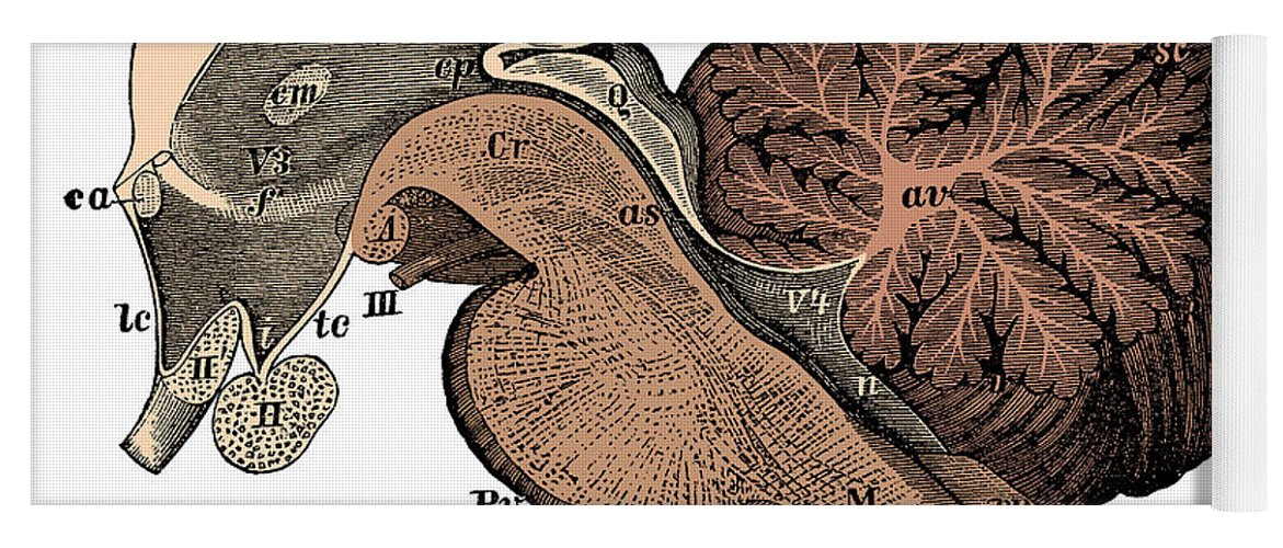Ventricle Yoga Mat featuring the photograph Third And Fourth Ventricles Of The Brain by Science Source