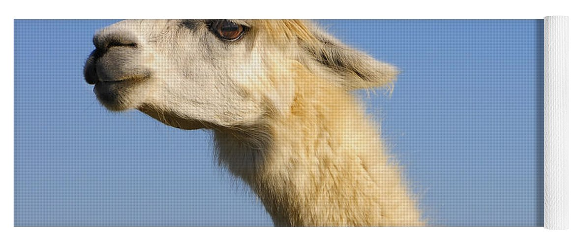 Skip Hunt Yoga Mat featuring the photograph Alpaca by Skip Hunt